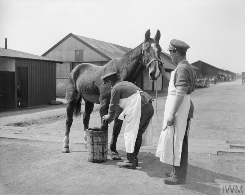 A wounded cavalry horse having a foot bath at Veterinary Hospital, Abbeville. 22 April 1918. © IWM (Q 10300)